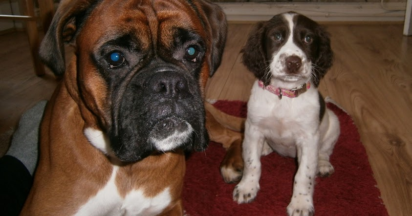 Bringing Baby Home To Boxer Dog
