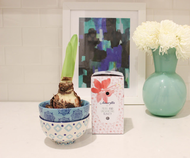 DIY Holiday Gift: Amaryllis Bulb Bowls