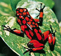 Poison Dart Frog Red and Black