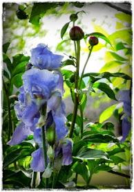 iris & peonies