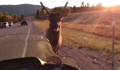 Motorcycle Chased By Elk