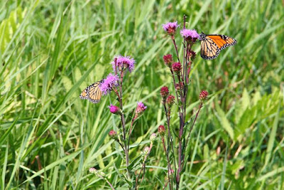 monarch butterflies on Northern Plains Blazing Star
