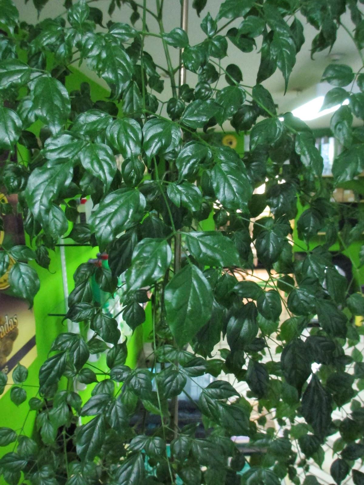 La mar de verde radermachera sinica o arbol serpiente for Plantas hoja perenne