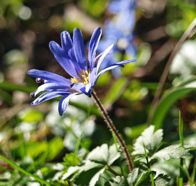 Blå Balkananemone er en smuk blå anemone