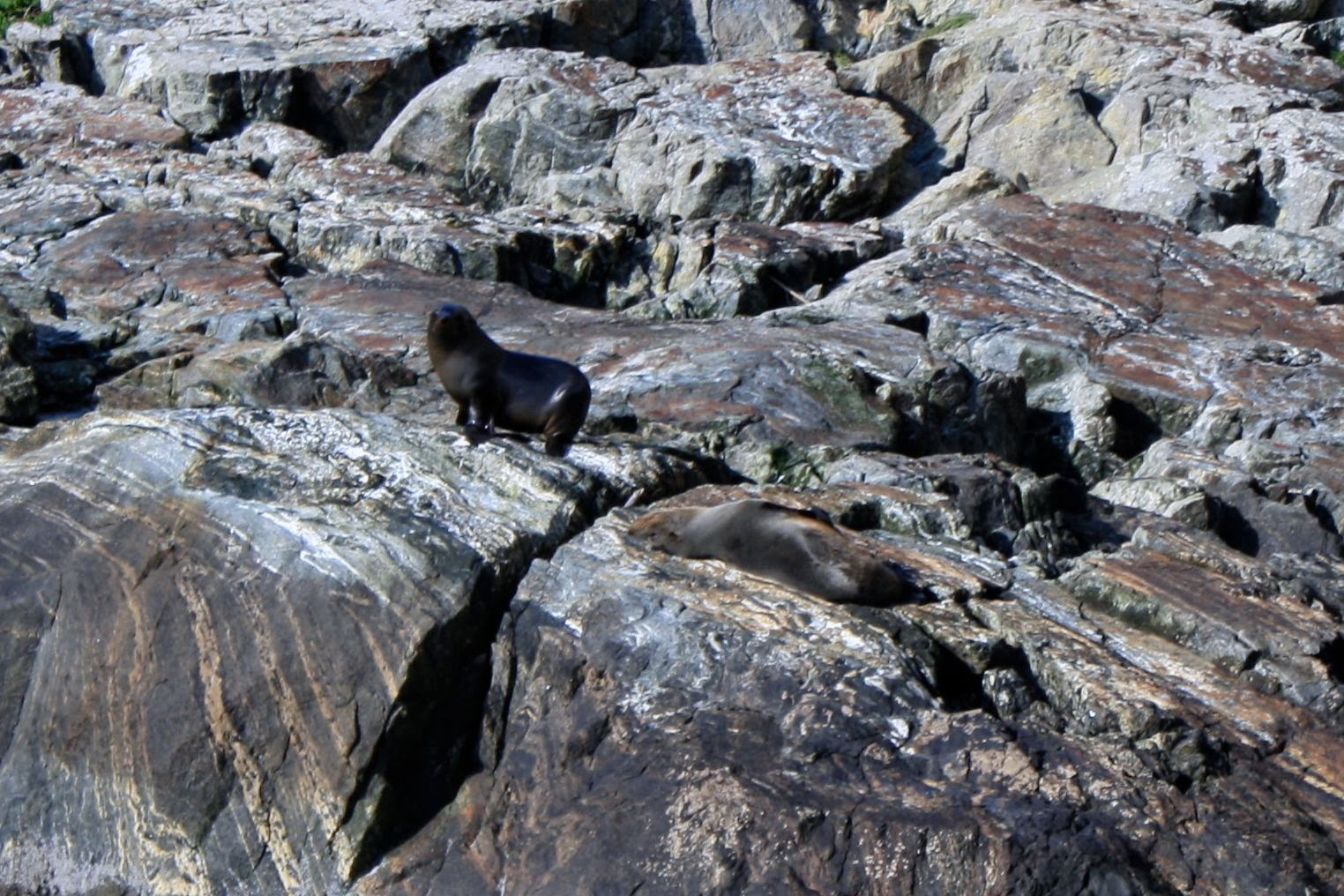 Seal pups in Milford Sound.