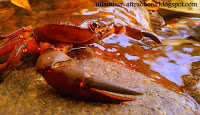Red crab on Adyanpara Waterfalls