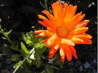Marigold contiennent de l'hormone pour traiter l'impuissance sexuelle
