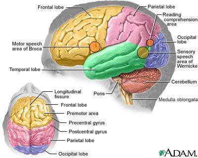 Brain Divisions