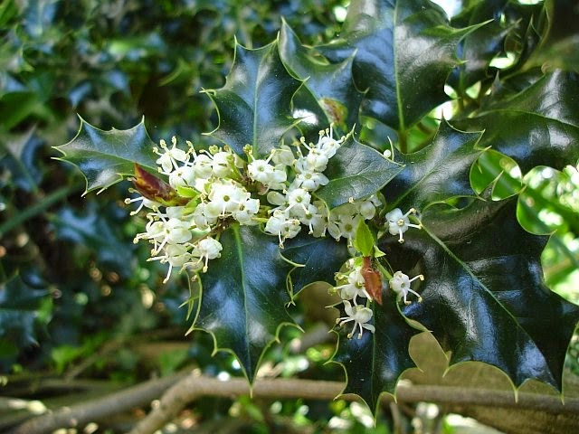 Photo of holly tree flowers