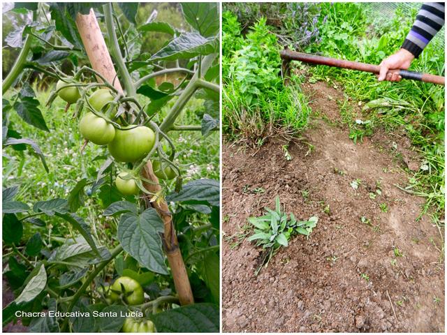 Tomates creciendo - tareas en la huerta - Chacra Educativa Santa Lucía
