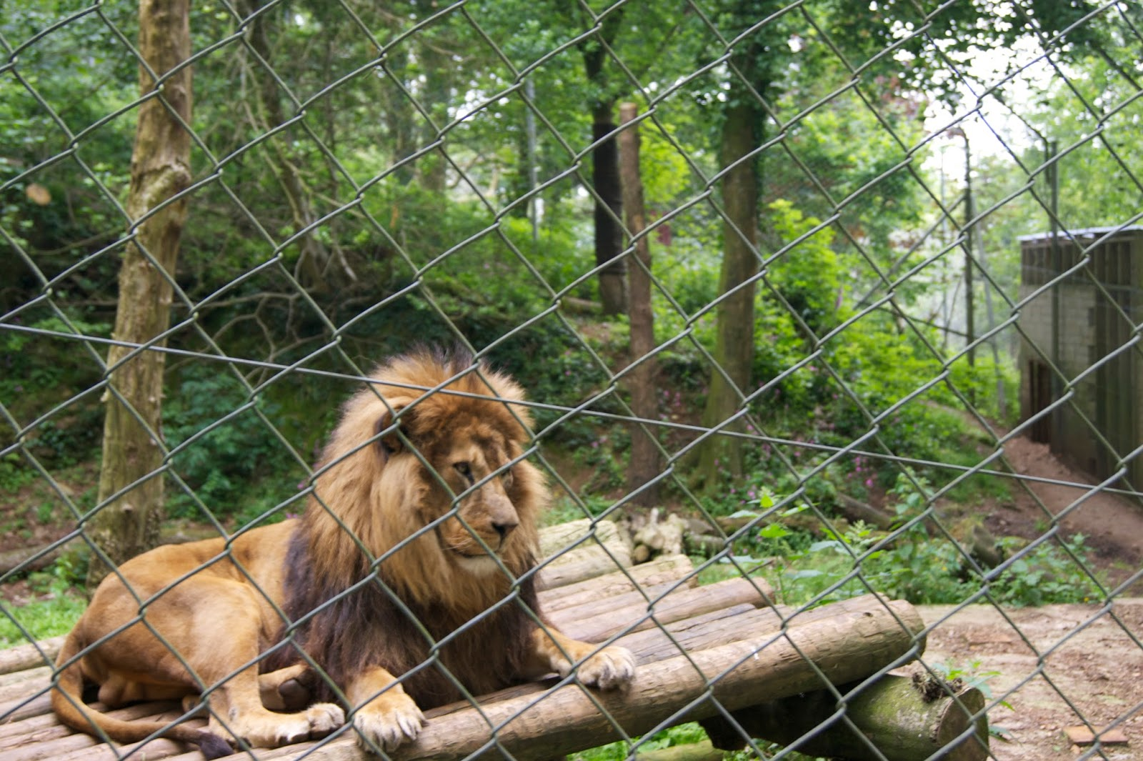 dartmoor zoo, lion, zoo, male,