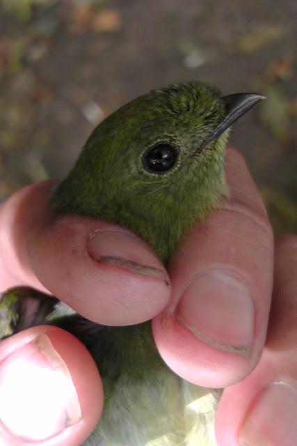 Long-tailed Manakin Chiroxiphia linearis Nicaragua birdwatching