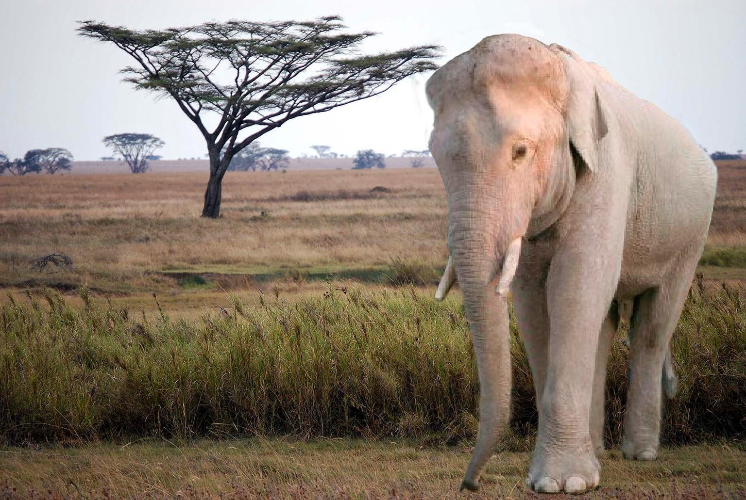 Elefante, 23-F
