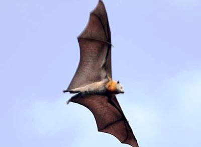 Pteropus molossinus (Zorro volador de Carolina)
