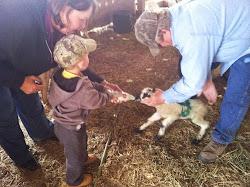 Feeding the lambs!