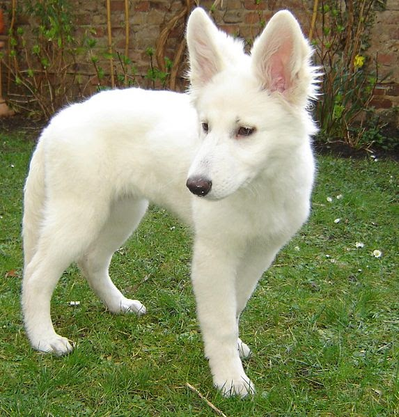 white german shepherd wolf hybrid dog german shepherds