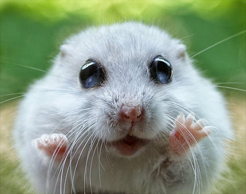 Funny Cute Hamster   Interesting Funny Pictures   Funny ...