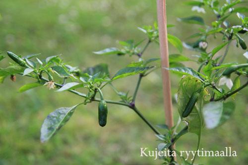 Apache chili ruukussa