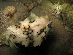 Hovercraft Boxfish