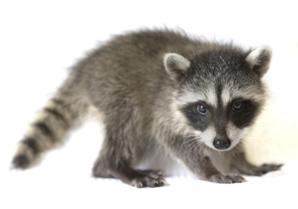 free hq baby raccoon - photo #17