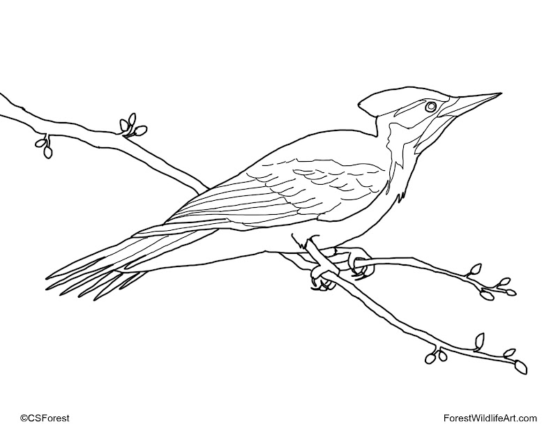 Here's a new coloring book page for the bird-lover child, a pileated  title=