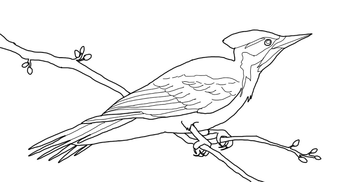 85 Northern Mockingbird Coloring Pages