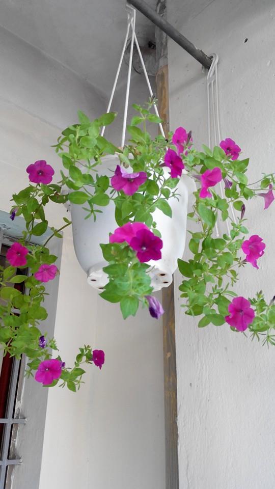 Chậu tròn móc treo trồng hoa dạ yếu thảo rủ