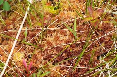 Northern Pitcher Plant and Round-leaved Sundew