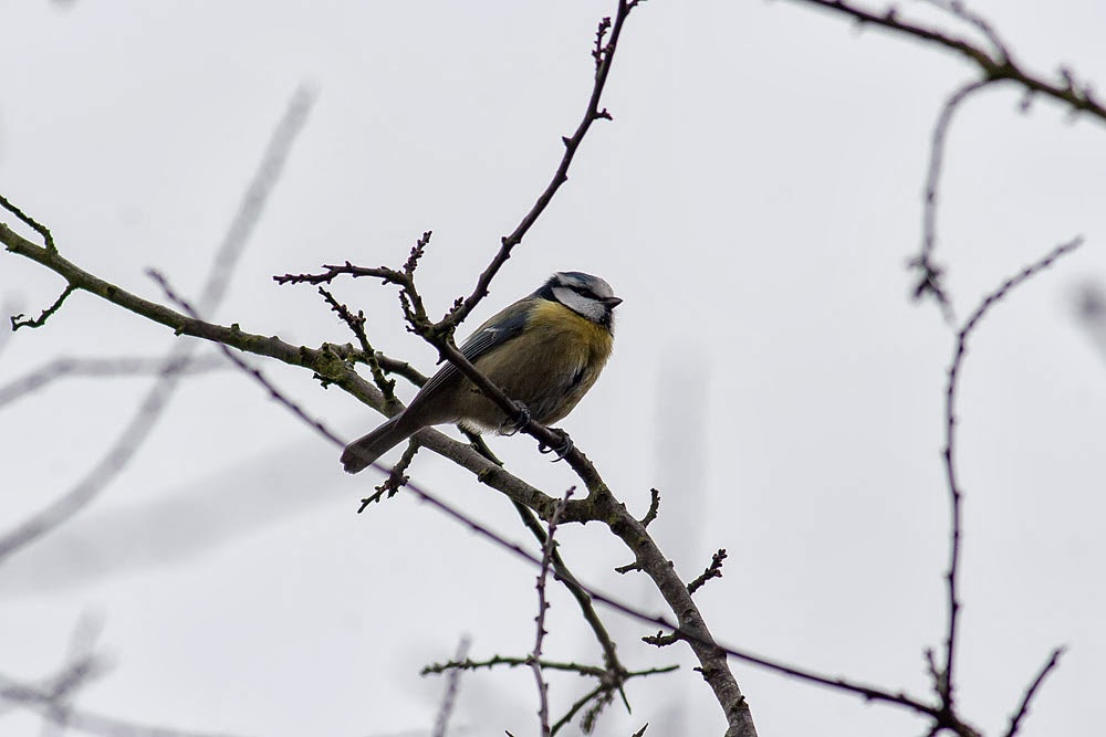 Blue Tit Lodge Lake, Milton Keynes
