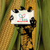 Illegal StarLink™ GM Corn Resurfaces in Saudi Arabian Food Supply