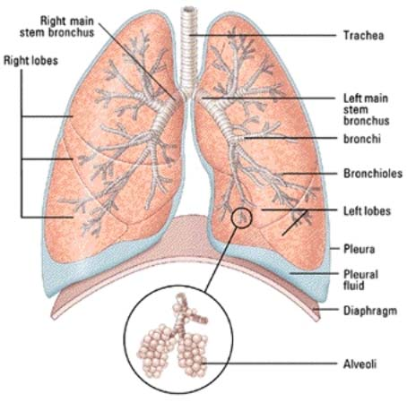 Our Lungs and Its Function or Role in our Body Hindi Language