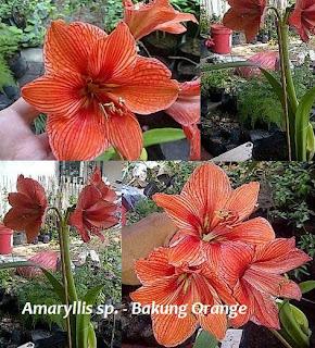 bakung bunga orange