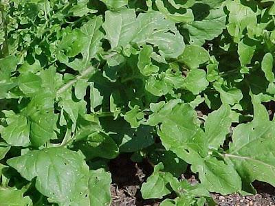 Eruca sativa | salad rocket - roquette - rucola - rugula, colewort
