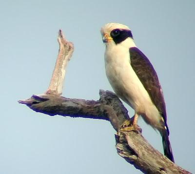 guaicuru halcon reidor Herpetotheres cachinnans