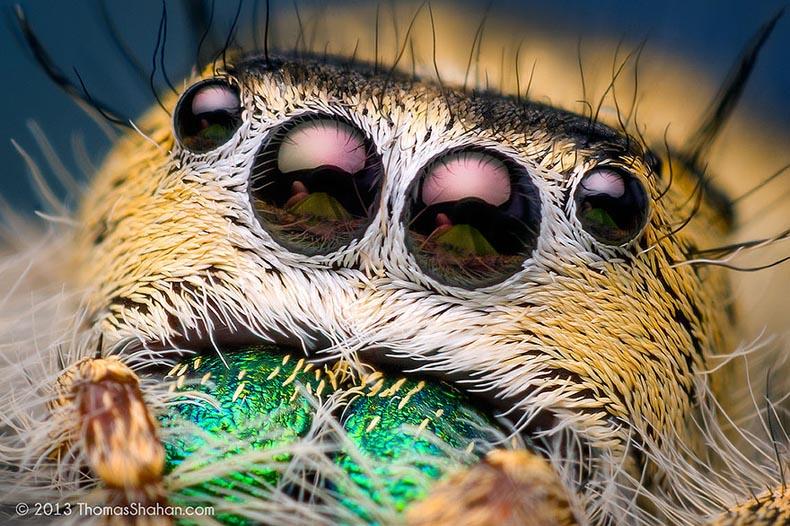 Macro fotos de lindas y tiernas arañas saltadoras