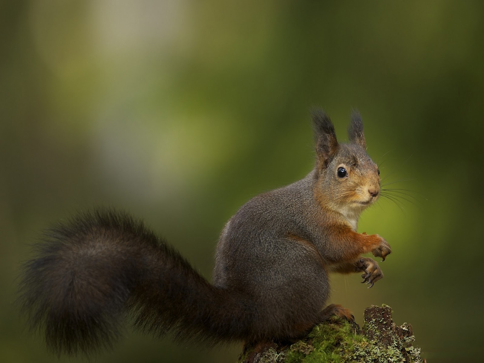 squirrel wallpaper - photo #5