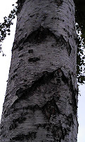 Betula - Birch Bark
