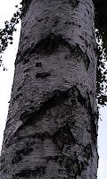 Betula - Birch Bark