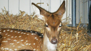 Mamíferos: antílope (Bambi)