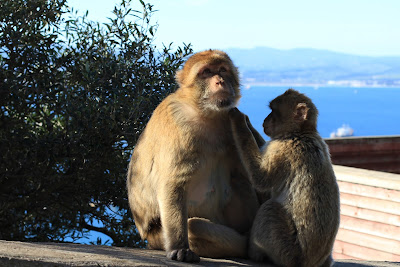 The Gibraltar Barbary Macque (Macaca sylvana)