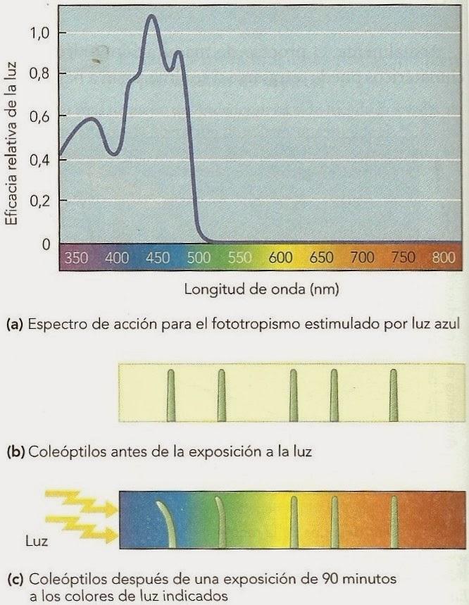 Respuestas de las plantas a la luz | Apuntes de Fisiología Vegetal