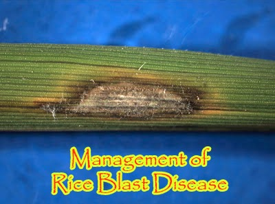 Management of rice blast disease