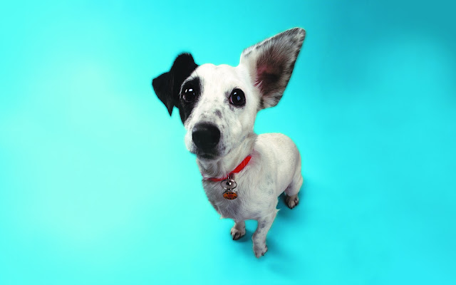 jack russell pictures, funny dogs