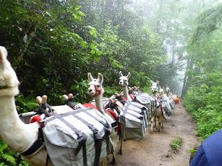 Llamas on their way to Mt Le Conte