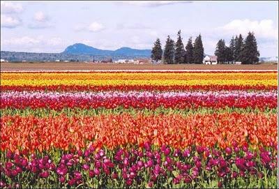 image02821 شهر مايو في هولندا  موسم حصاد زهور التوليب  جنة على الأرض