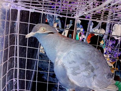 Quail bird in cage