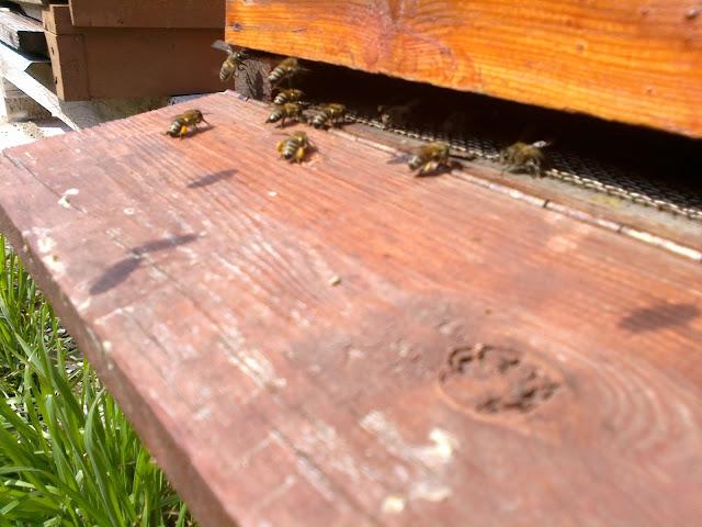 polen getiren arilar