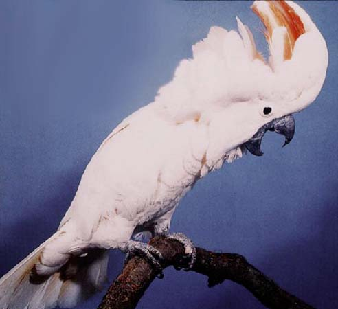 Moluccan Cockatoo Bite