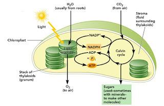 proses fotosintesis yang terjadi di dalam kloroplas tanaman
