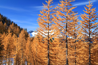 Larch Trees in Carne Basin